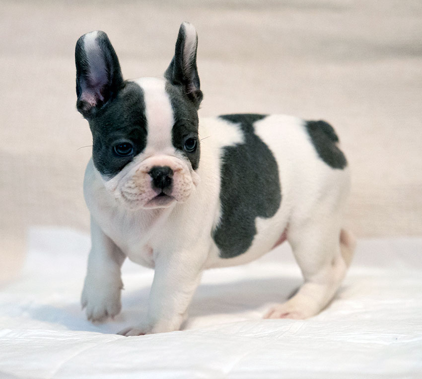 Pied French Bulldog Puppies