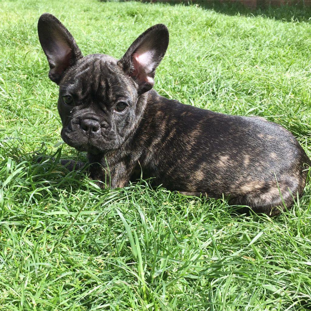 beautiful french bulldog brindle