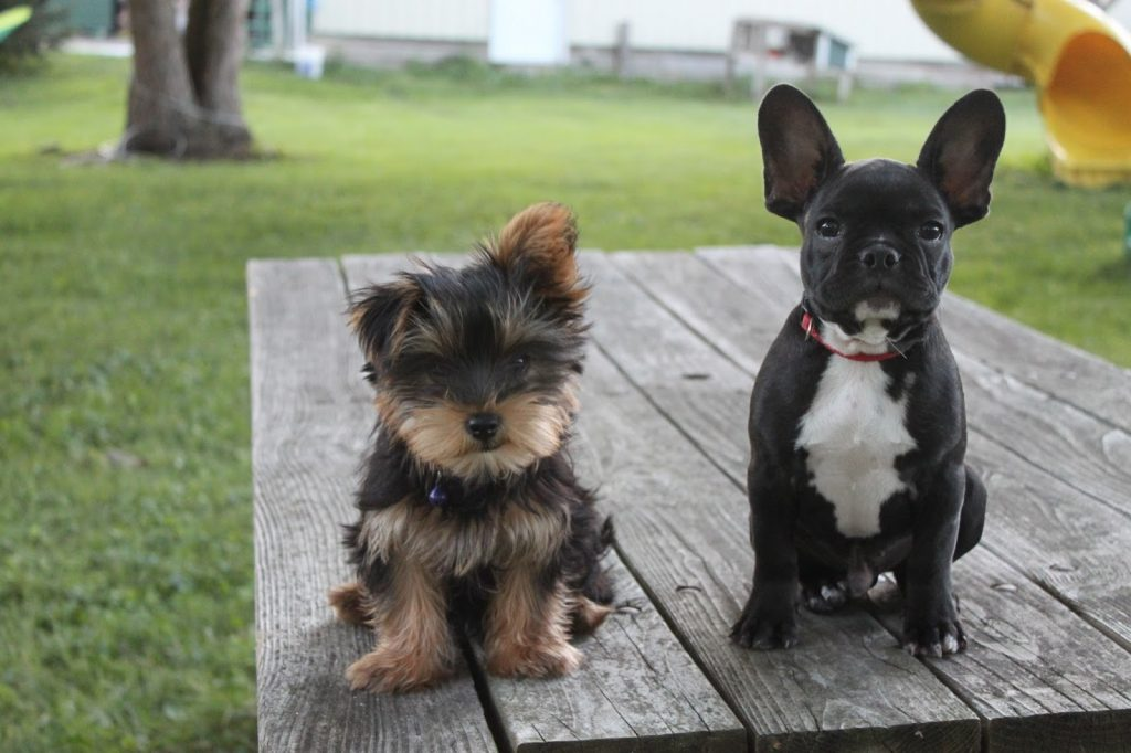 french-bulldog-yorkie-mix