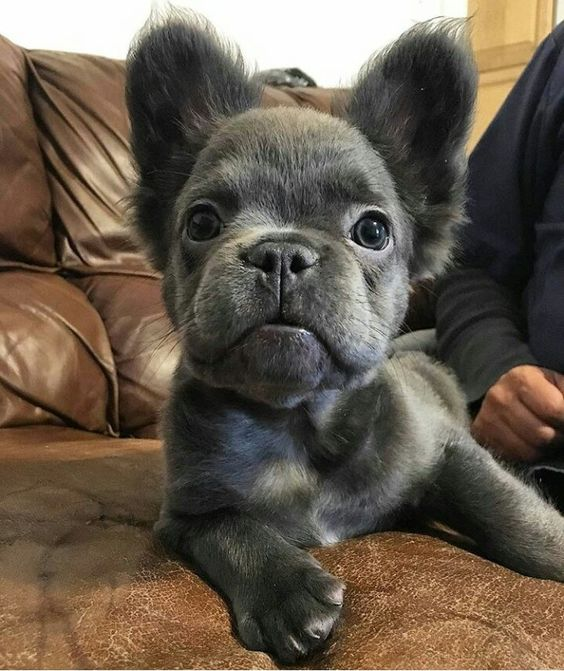 Mini French Pomerdog