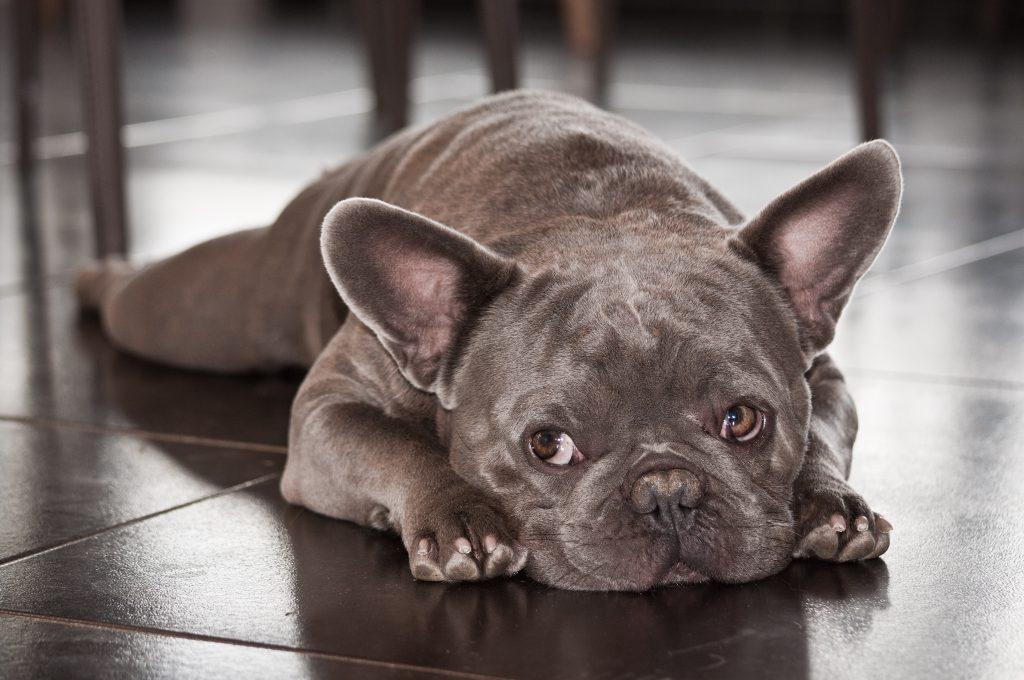 french bulldog eye problems