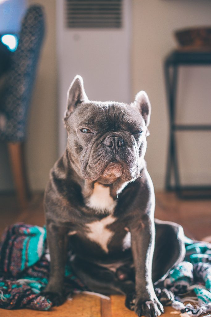 french bulldog skin problems old dog
