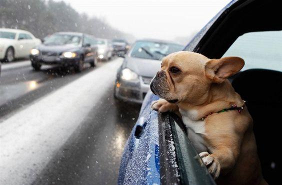 french bulldog in car