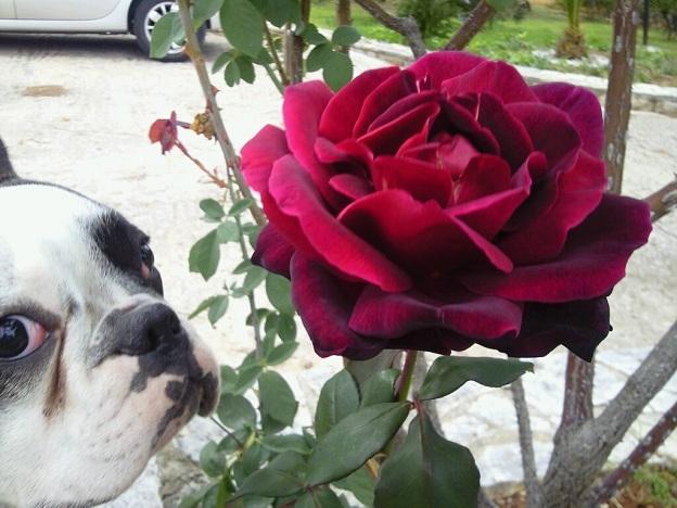 french bulldog photobombing