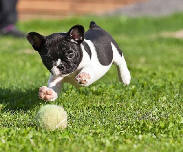 playful french bulldog ball