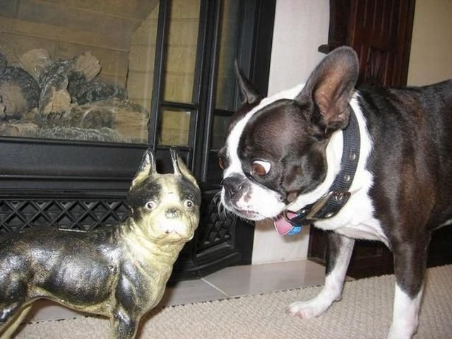 funny french bulldog dogs pics