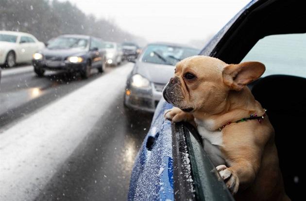 french bulldog car ride