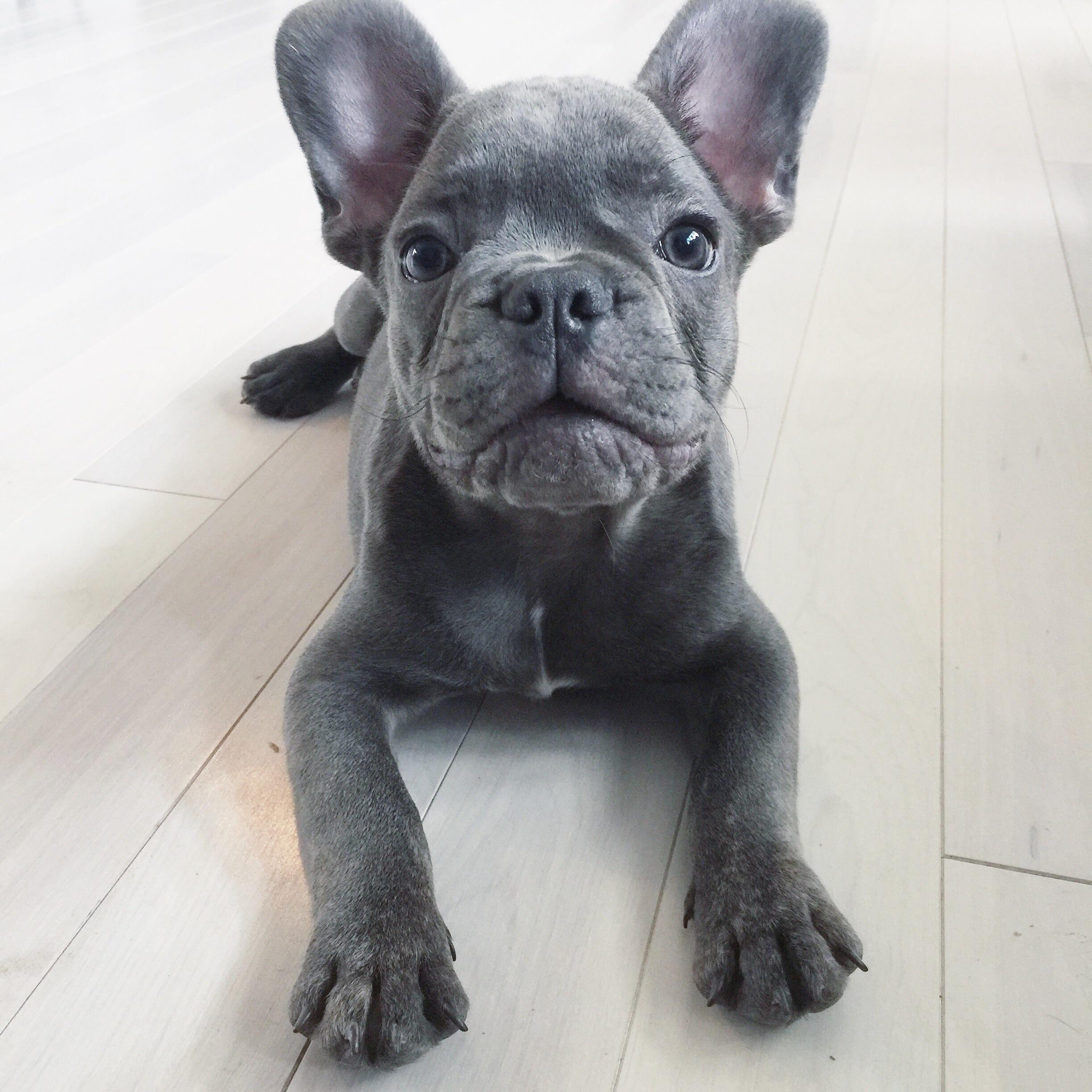 Blue Fawn French Bulldog Puppies Askfrenchie Com