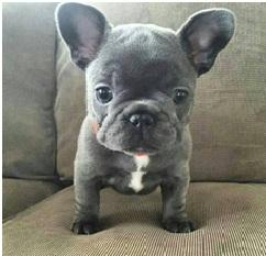 French Bulldog Colors Askfrenchiecom