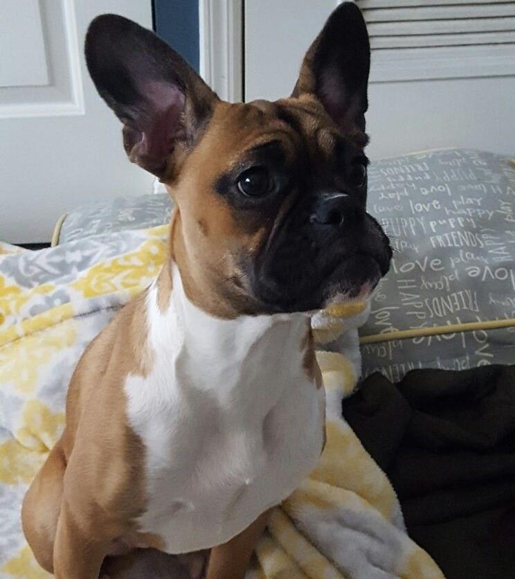 French Bulldog Boxer Mix Askfrenchie