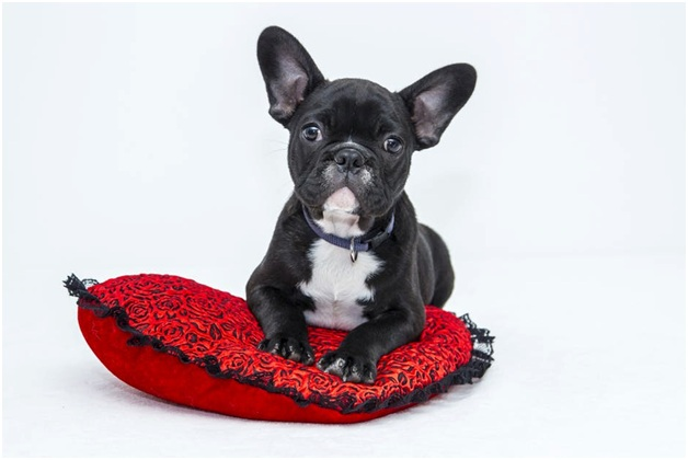 french-bulldog-puppies-pillow