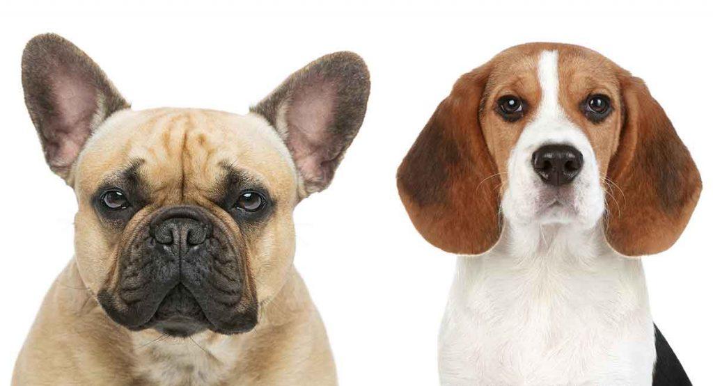 beagle-french-bulldog-mix