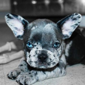 Miniature Blue-eyed French Bulldog
