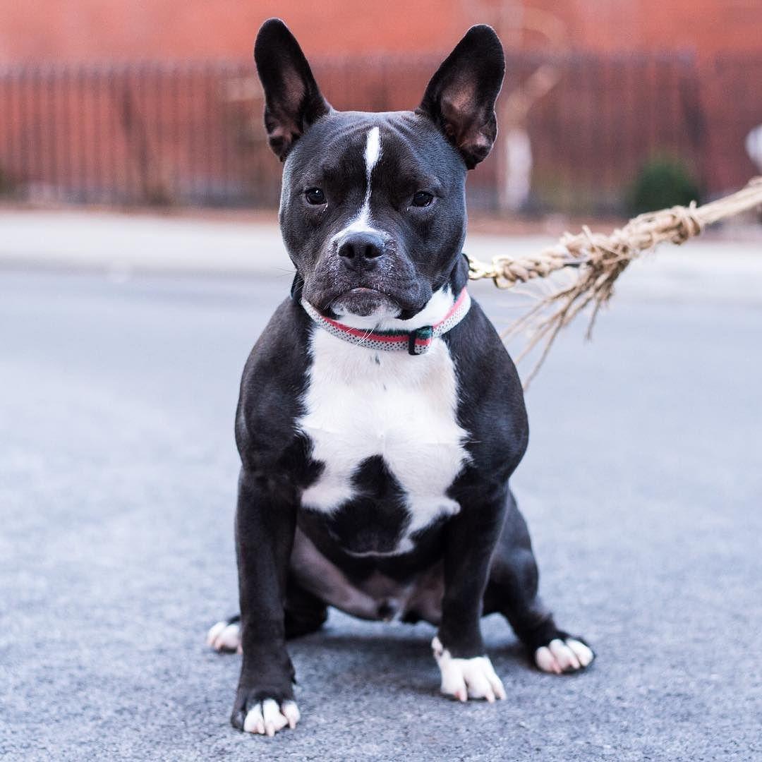French Bulldog Pitbull Mix Askfrenchie Com