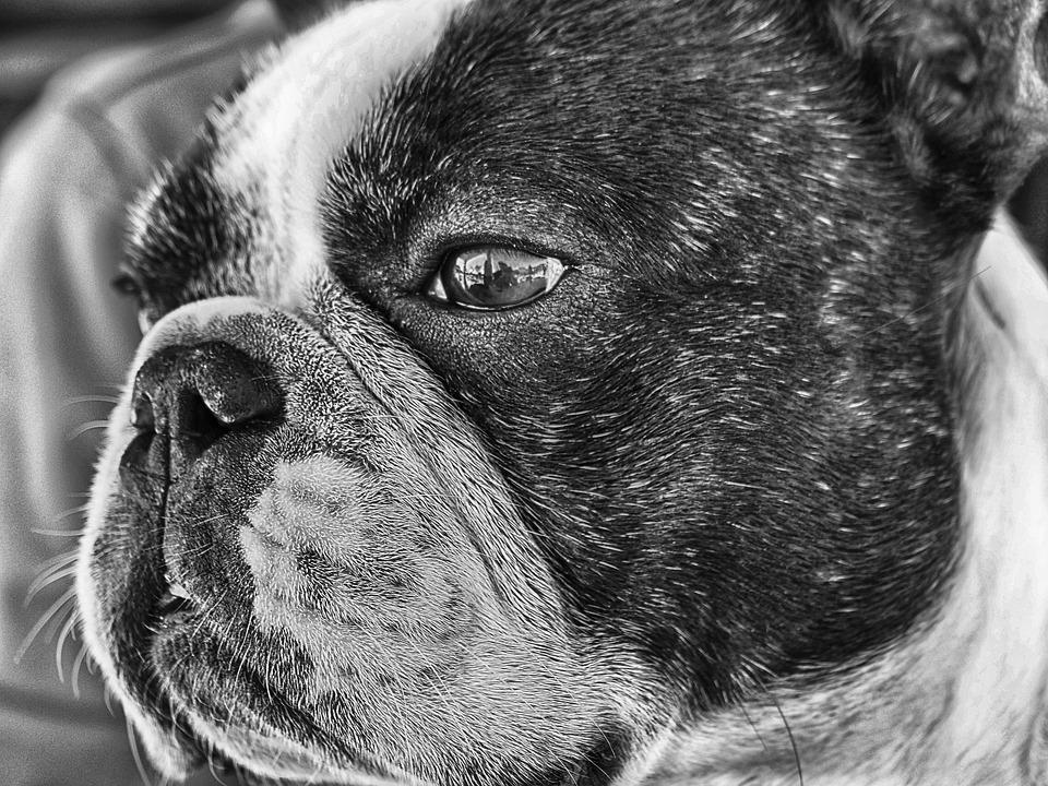 French bulldog size-adult frenchie