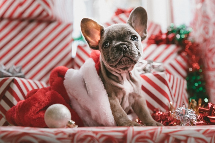 French bulldog health problems- christmas dog