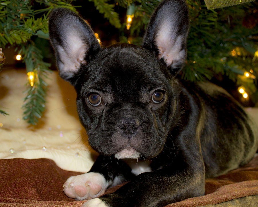 French Bulldog Personality-Frenchie puppy