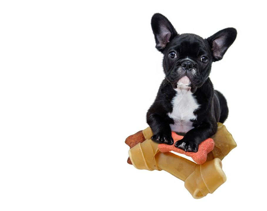 French Bulldog Personality- Black Frenchie