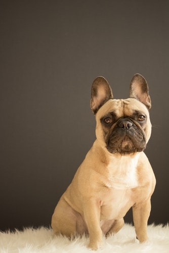 French bulldog health issues- fawn