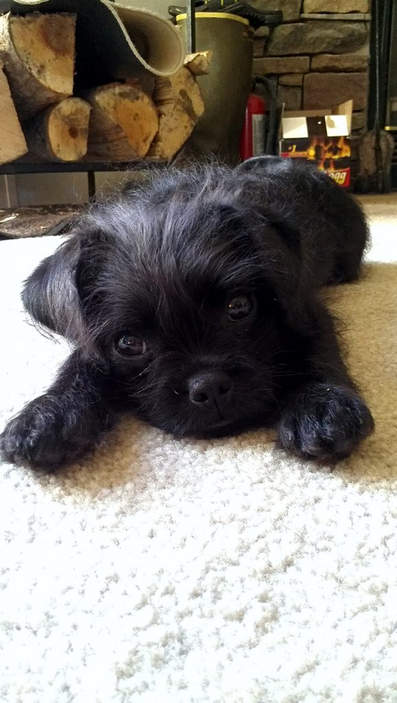 Boodle, French Bulldog +Miniature Poodle mix