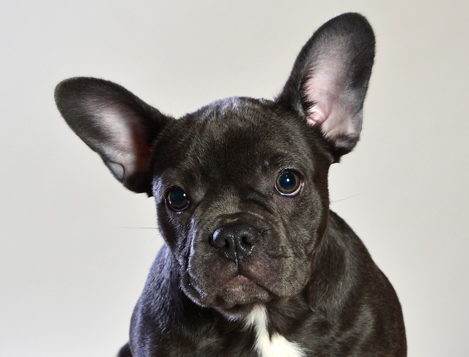 french bulldog health issues- blue