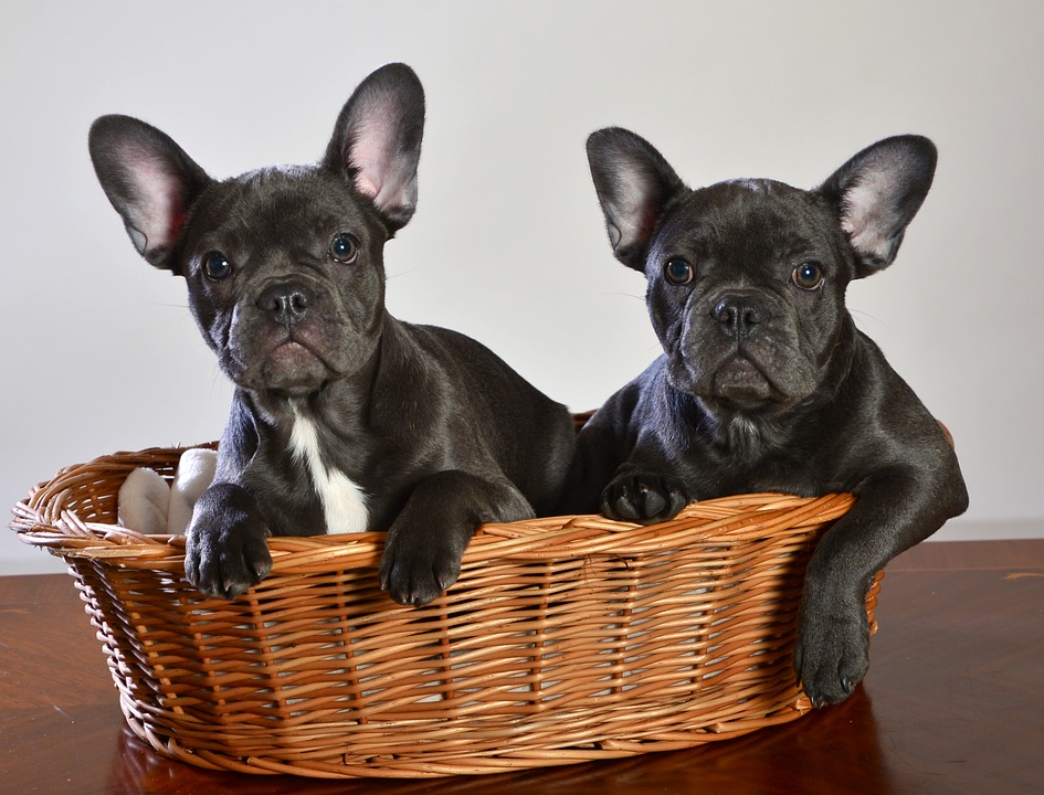 french bulldog health issues- puppies