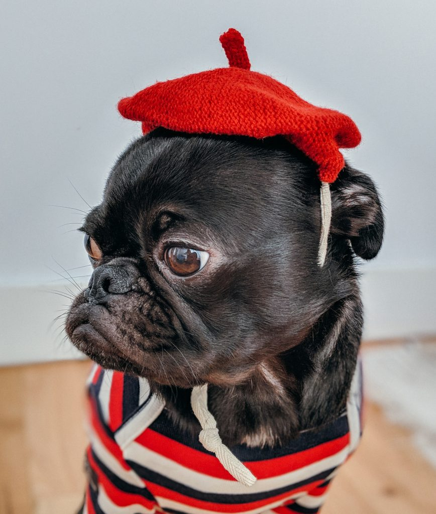 french bulldog shedding red hat