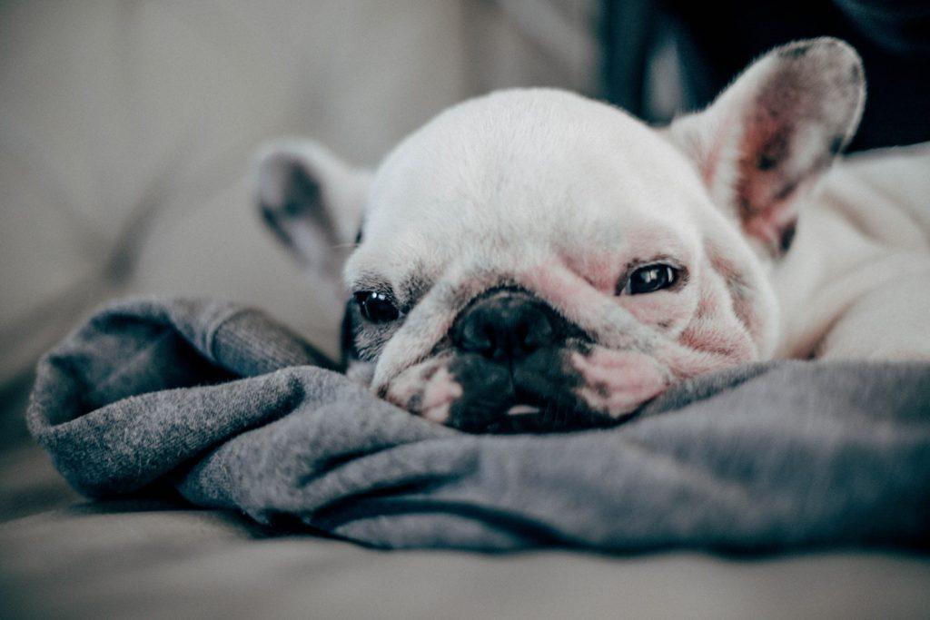 French Bulldog puppies-sleeping