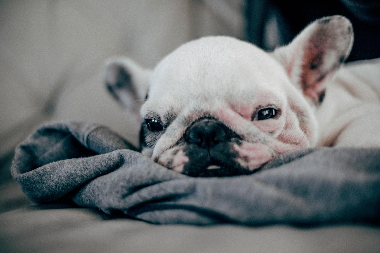 French Bulldog size-puppy