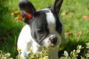 pied-Frenchie-play-outside