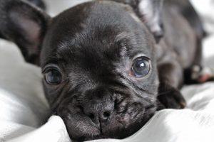 Miniature-French-Bulldog