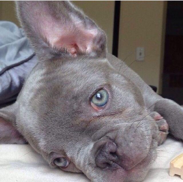 french bulldog eye problems blue