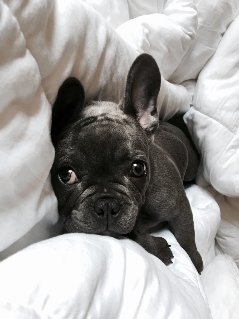 french bulldog hair loss bed