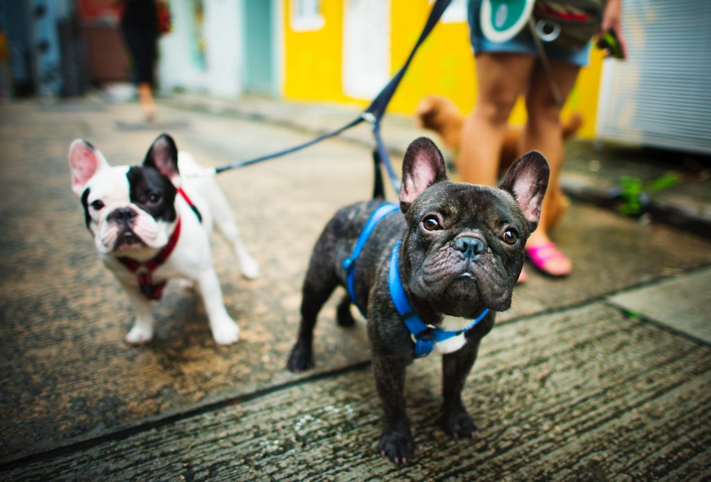 french bulldog harnesses