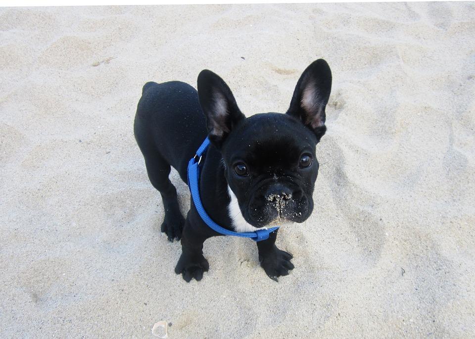 french bulldog harness or collar .