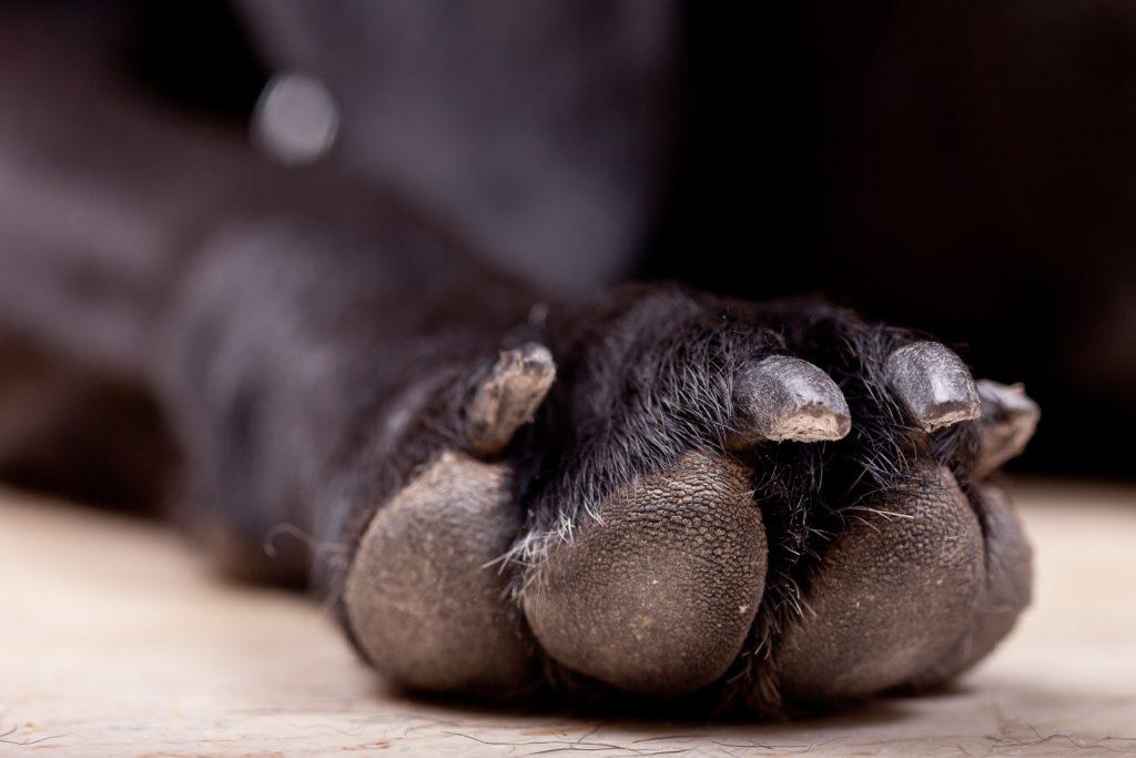 french bulldog nails