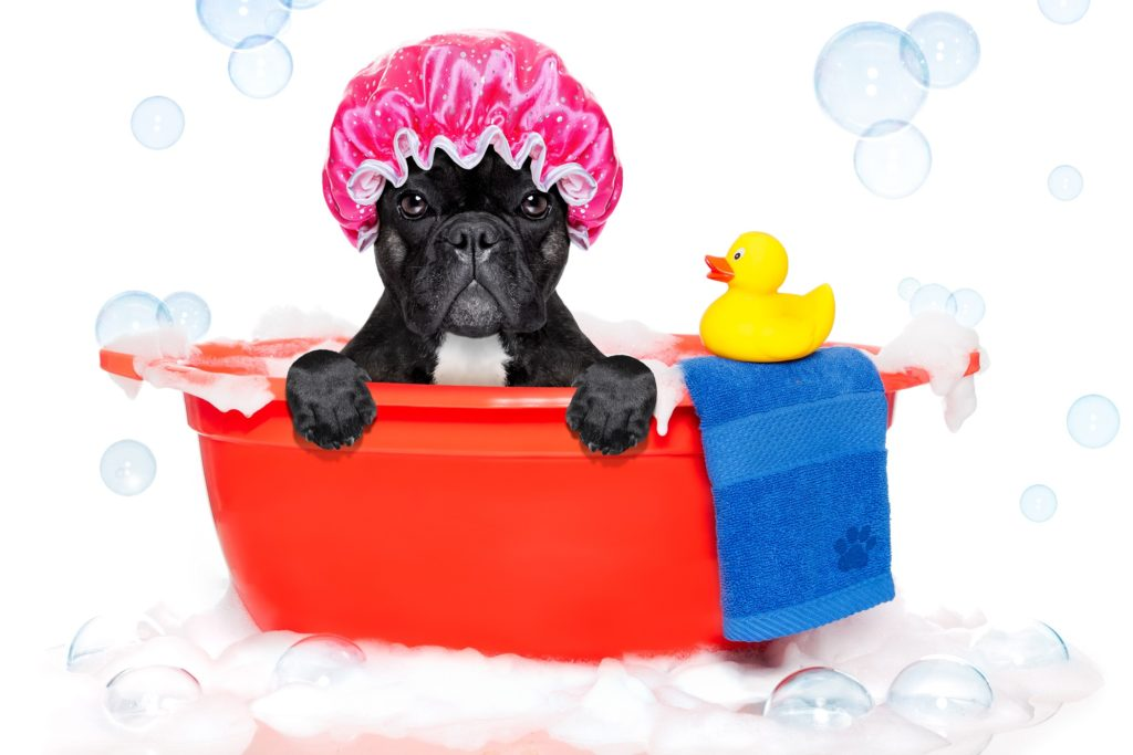 shampoo for a French bulldog
