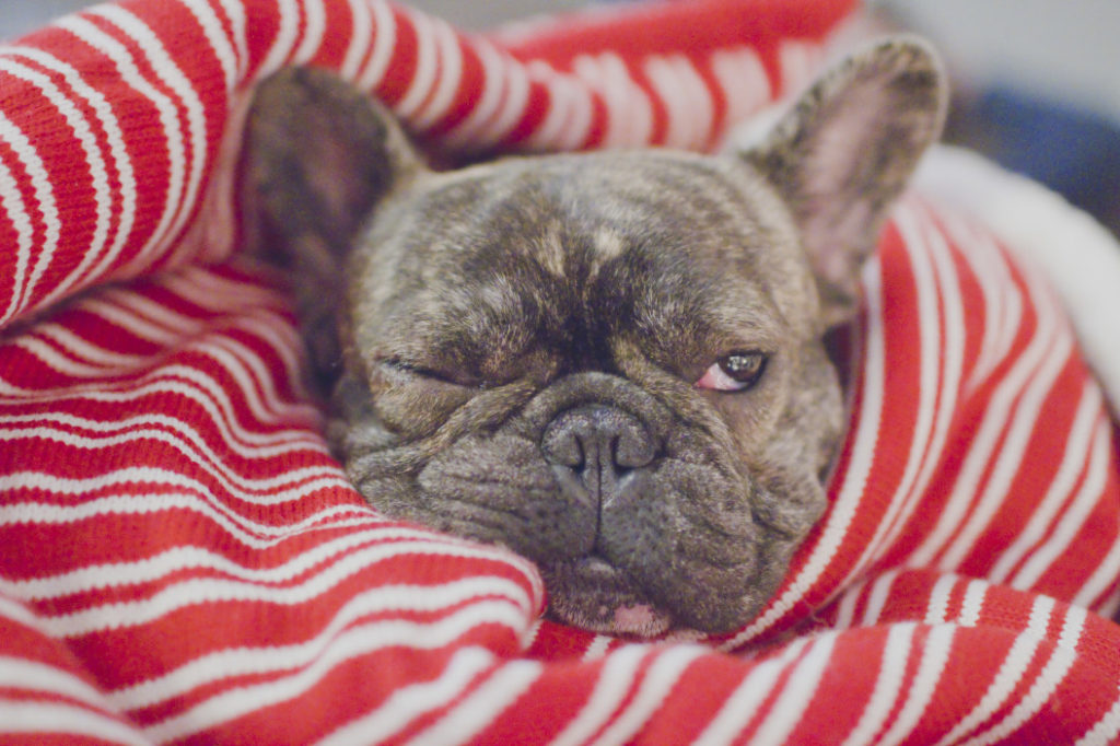 french bulldog allergies