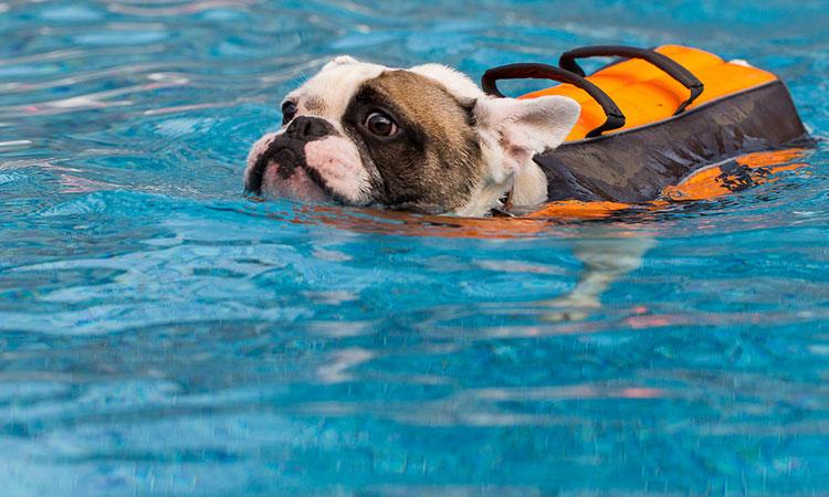 can french bulldogs swim