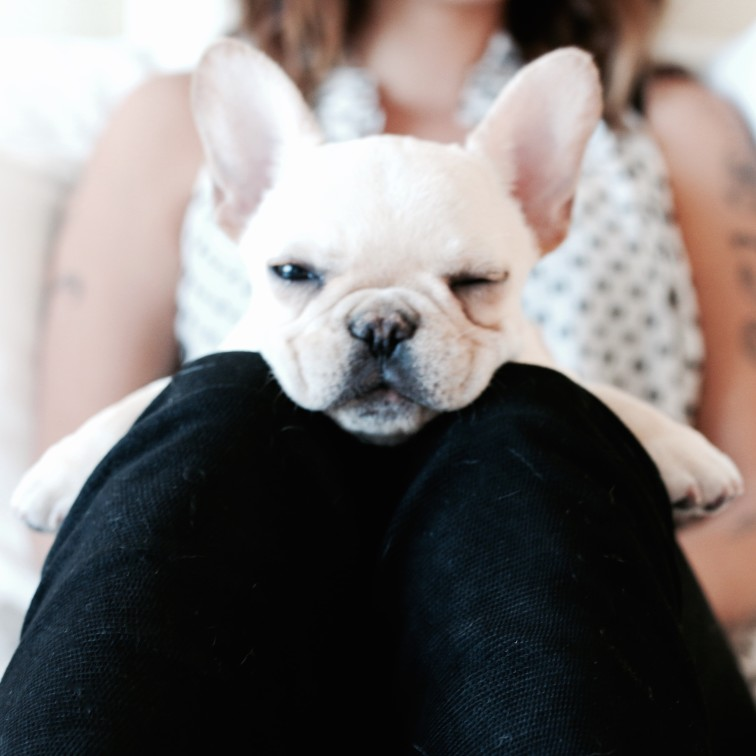 french bulldog has dry nose