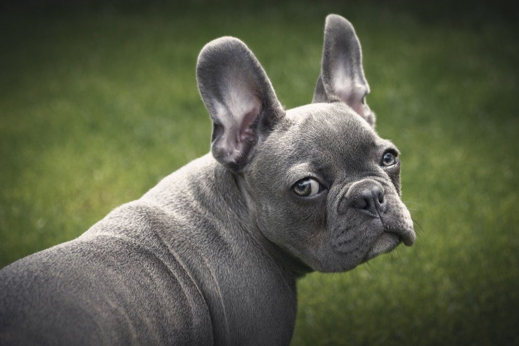 french bulldog smelly ears