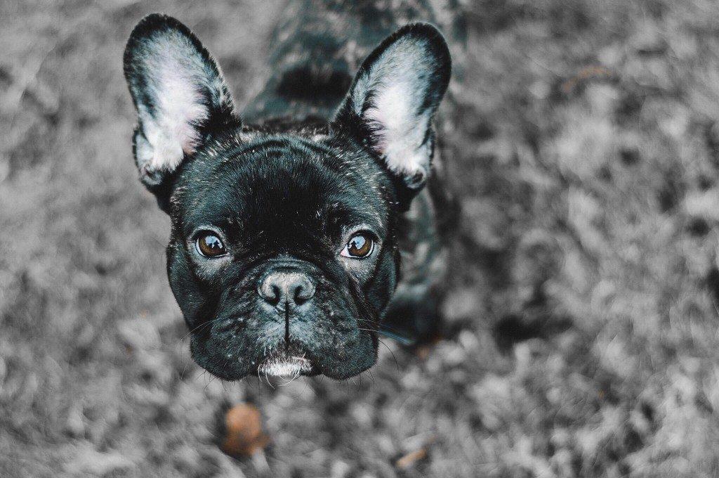 french bulldog farts