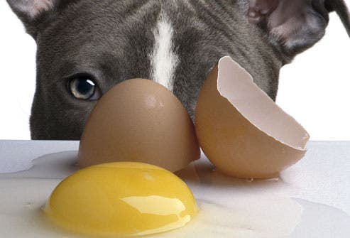 can french bulldogs eat eggs