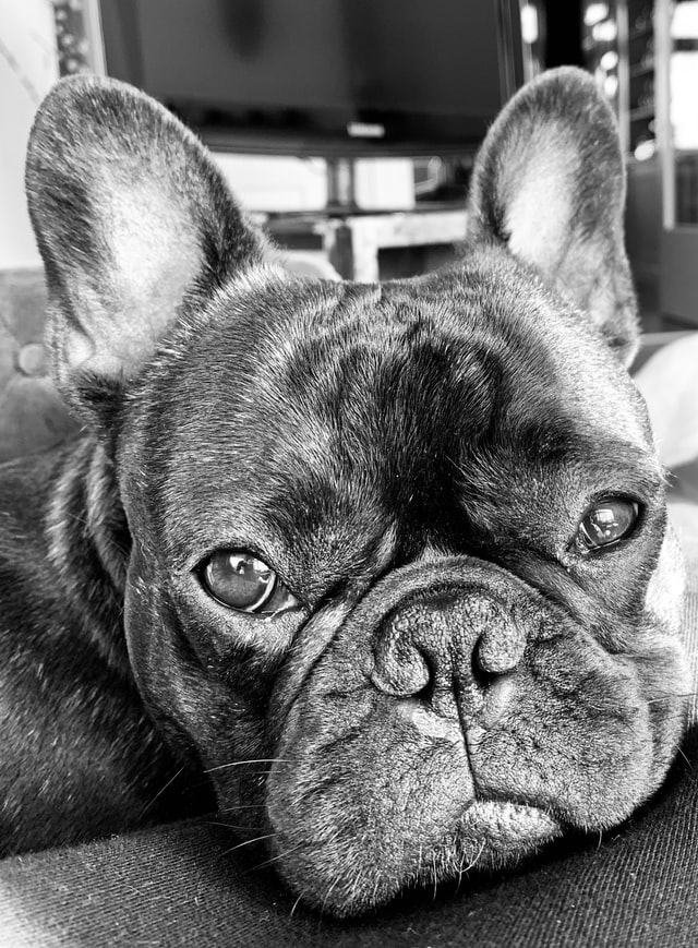 french bulldog dry nose