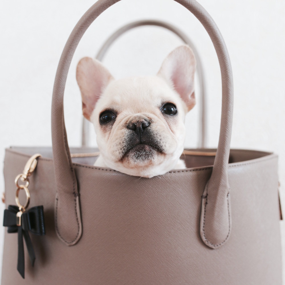 carry a frenchie in a backpack