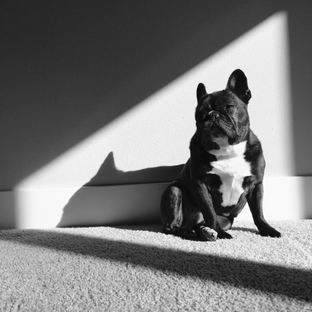 french bulldog farts