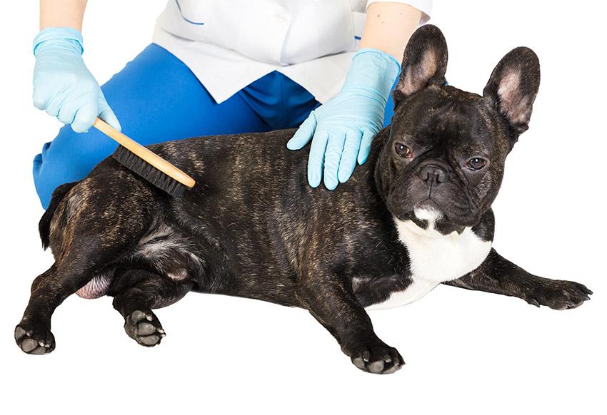 french bulldog itchy skin