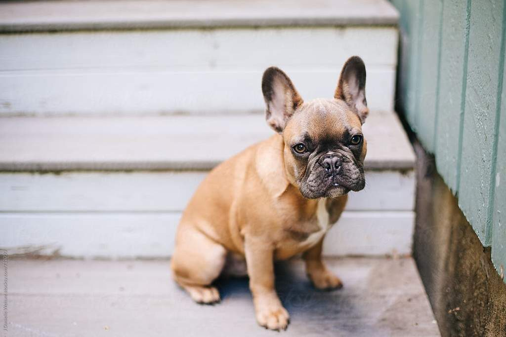are stairs bad for french bulldog
