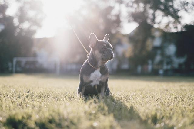 frnech bulldog heat rash