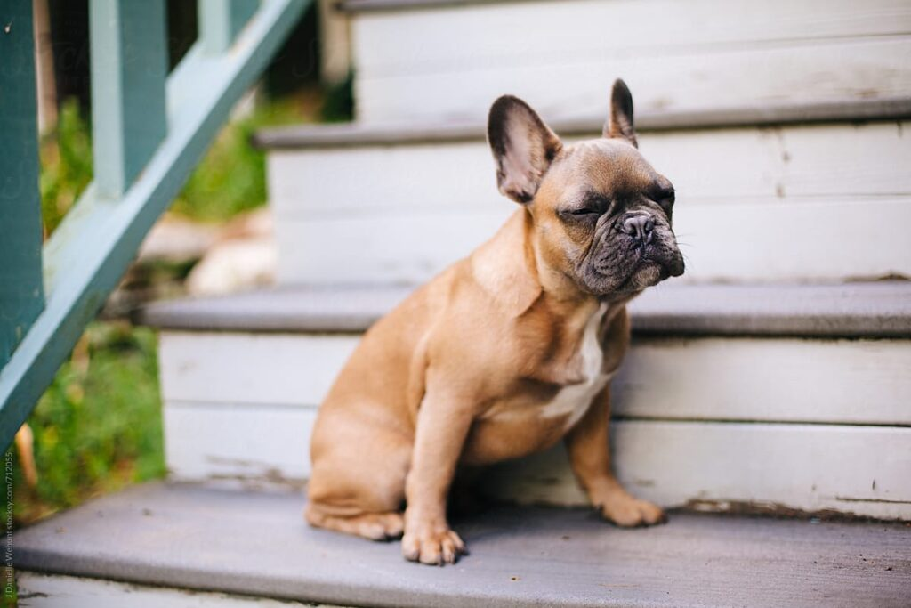 are stairs bad for french bulldogs